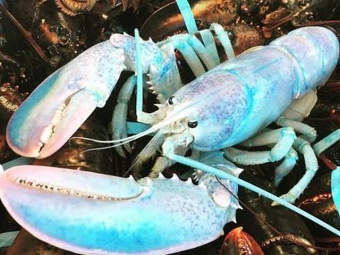 加拿大渔民抓到粉蓝色龙虾,专家称捕获机率为1亿分之一