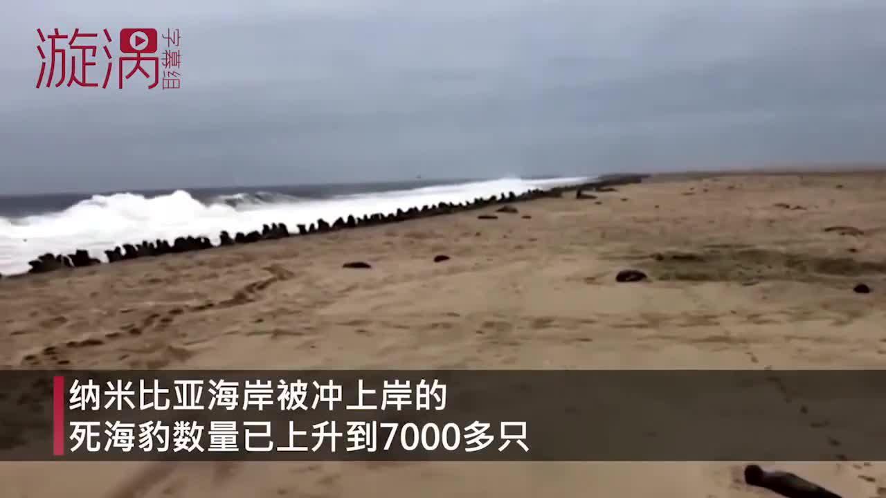 纳米比亚海岸海豹死亡数升至7千,官方将研究尸体确定死因