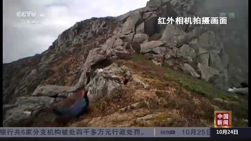 """甘肃:""""鸟中大熊猫""""绿尾虹雉现身自然保护区"""