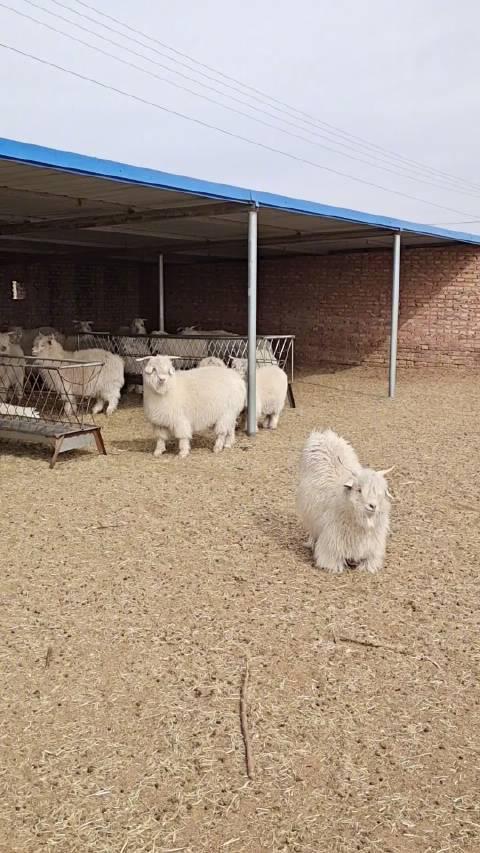 """鄂尔多斯的""""敏盖""""白绒山羊,我们穿的鄂尔多斯羊绒毛衣……"""