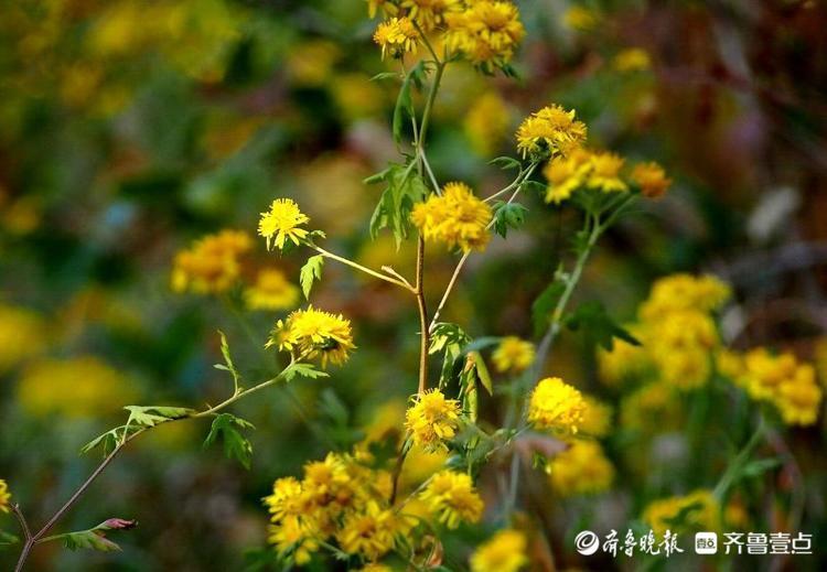 进南山除了满山红叶,别忘了还有满山野菊花!