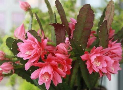 此款仙人掌科植物,花大色艳像荷花,是家庭盆栽佳品!