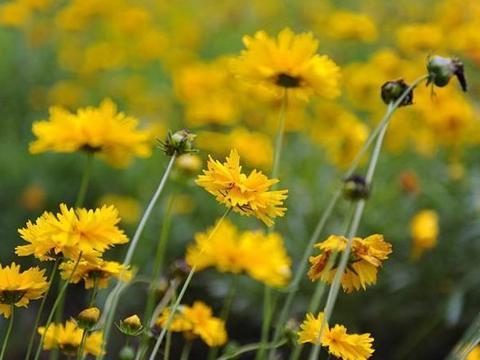"""乡下生长的""""黄花草"""",城里广泛栽种,其实对中耳炎有良效"""