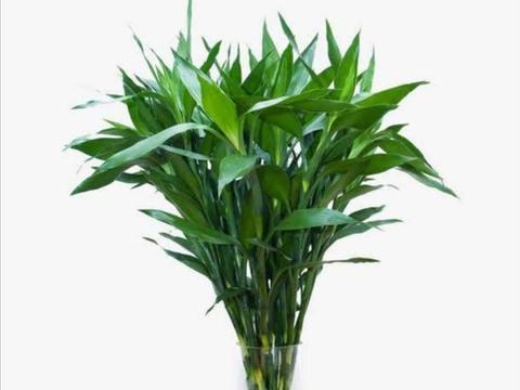 水插富贵竹,几个小技巧要掌握好,避免黄叶子,长势茂盛