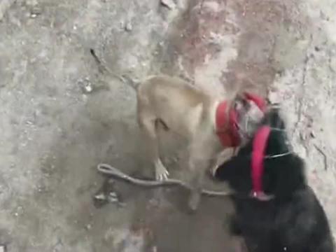 """中国藏獒对战美国比特犬,究竟谁是""""犬中之王""""?让我们拭目以待"""