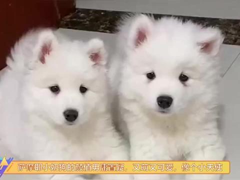 萨摩耶小奶狗的颜值毋庸置疑,又萌又可爱,像小天使一样