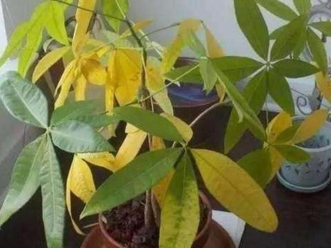 养发财树,为什么容易出现烂根黄叶?4个方面要注意