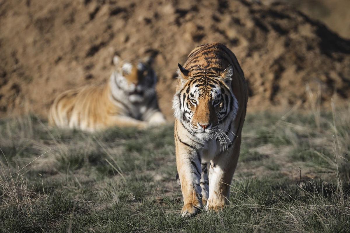 同一胎的小老虎里面,为何雄虎会比雌虎走得更远?