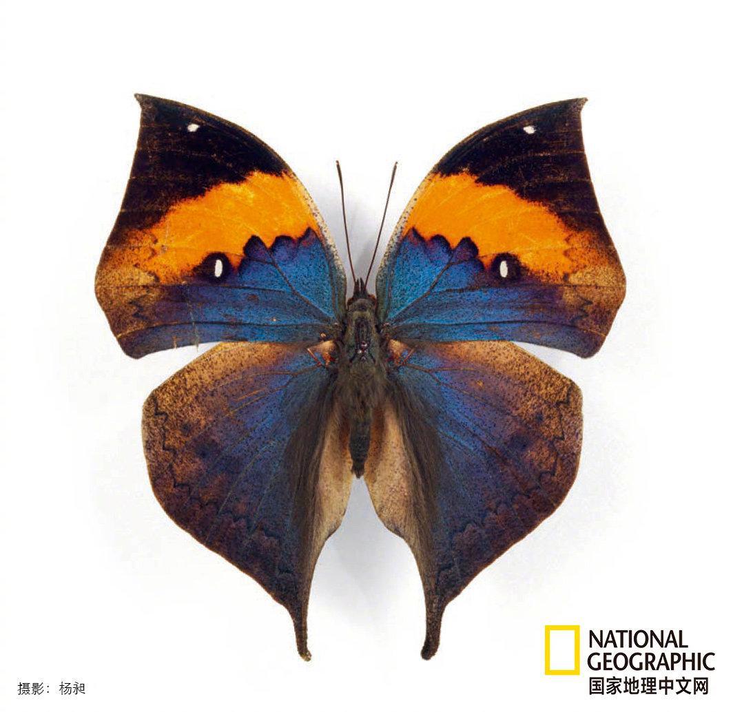 枯叶蛱蝶(Kallima alicia)的正面色彩极为绚丽……