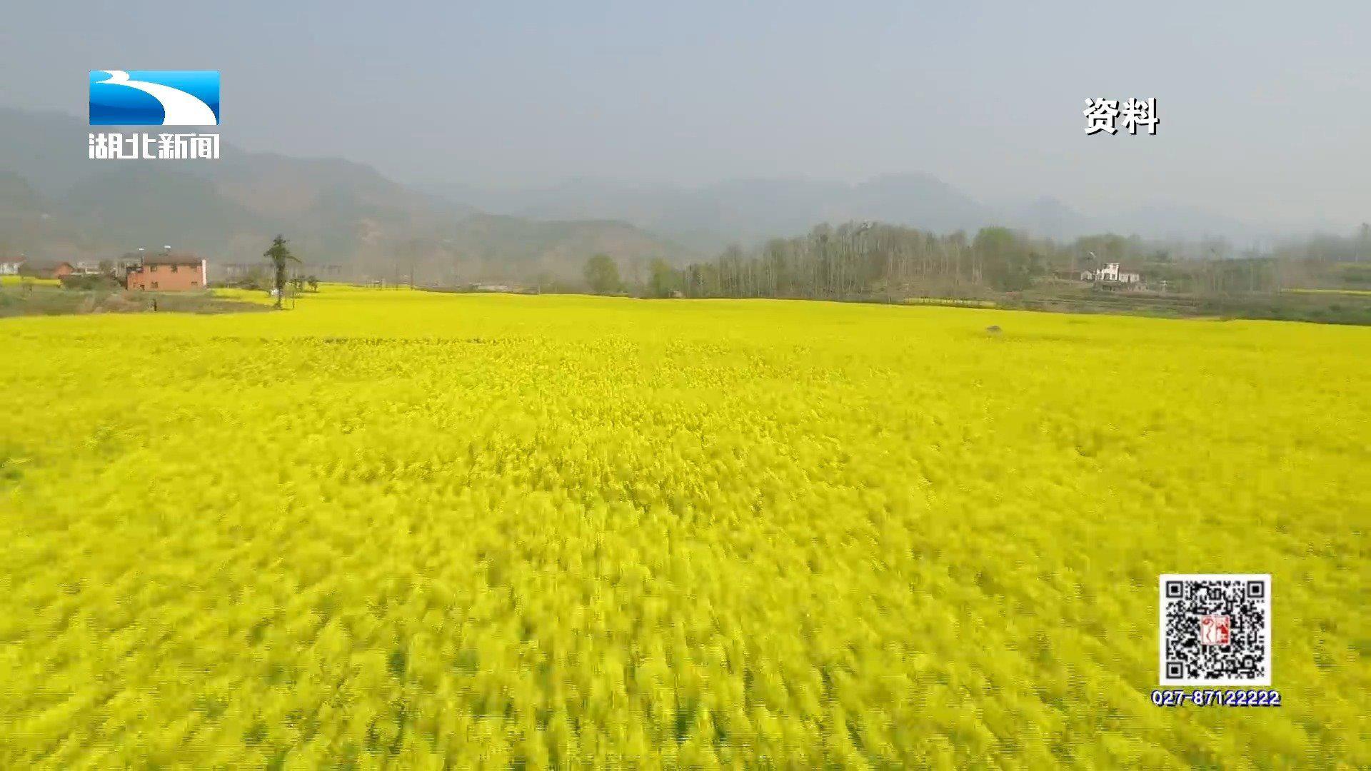 随时开花,想看就看!中国农科院油料所研发出油菜花海定制技术