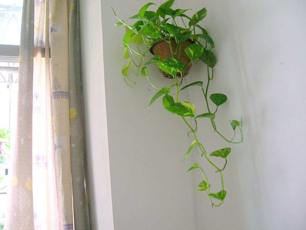 绿萝要想养成攀爬植物,这3个要素要记住,缺一不可