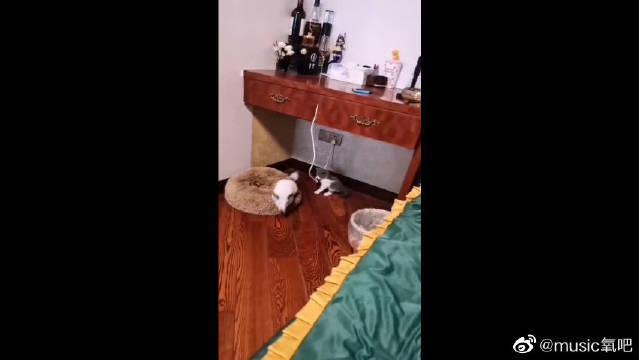 这……小猫咪和龙猫的体型差也太大了吧,两个在一起有点好笑!
