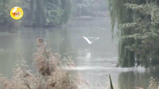 又到最佳观鸟期 西安浐灞迎来越冬候鸟