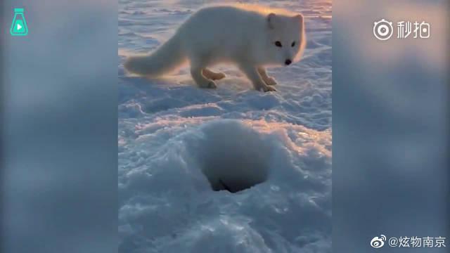 俄罗斯大叔正在冰上钓鱼,一只北极狐小宝宝嗅到鱼味儿……