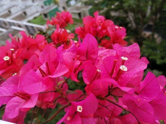 三角梅养护不当烂根,注意此几个问题预防烂根,红花开不停