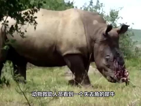 犀牛角被割,人们为它装上3D仿生犀牛角,犀牛的举动让人欣慰!