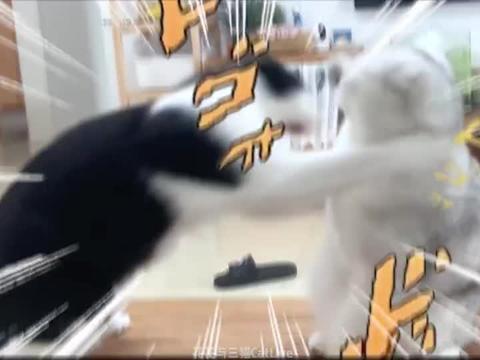 猫抢地盘天天打!女主人:求求你们别打了,再打头要笑掉了哈哈哈