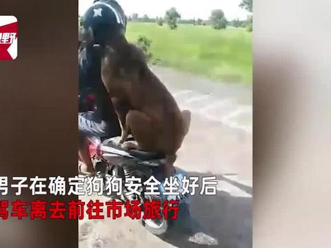 成精了!狗狗头戴安全帽,上车就坐动作麻溜搭主人摩托车去旅行