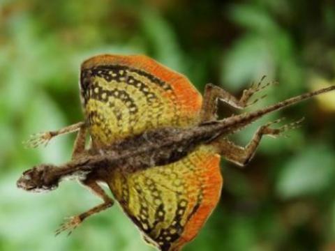 它是爬行动物中唯一会飞的动物,追溯其起源,可能比翼龙还要早