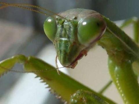 把螳螂饿上3天,丢进只大黄蜂会如何?网友:快刀斩乱麻!