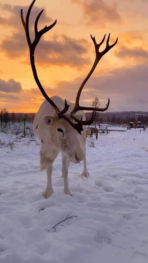 初雪黄昏 ️🦌 呼伦贝尔草原驯鹿