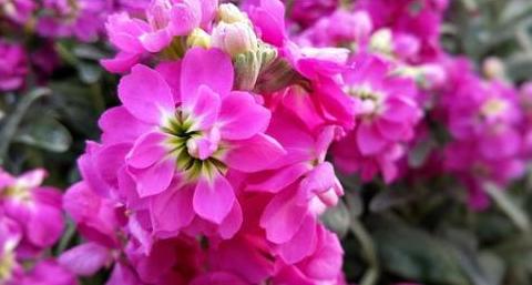 优雅的紫罗兰如何养?教你3个养护紫罗兰的妙招,轻松爆盆开花多