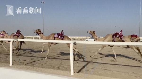 视频|沙漠中的F1!卡塔尔的飞毛腿骆驼们争夺百万奖金