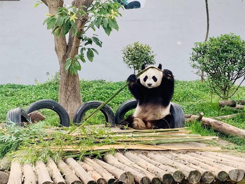 """""""国礼""""竹编""""国宝""""熊猫组cp 两大盛会下月四川青神开幕"""