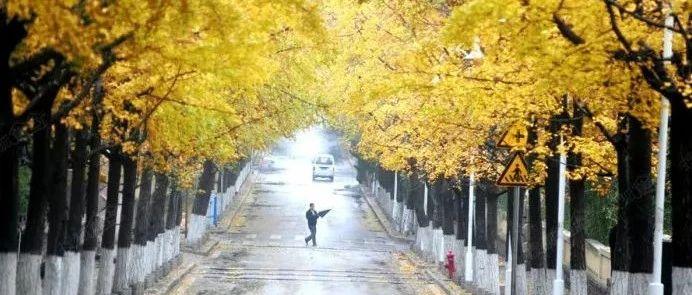 青岛深秋最美景色要来了!一大波银杏和枫叶正在路上…