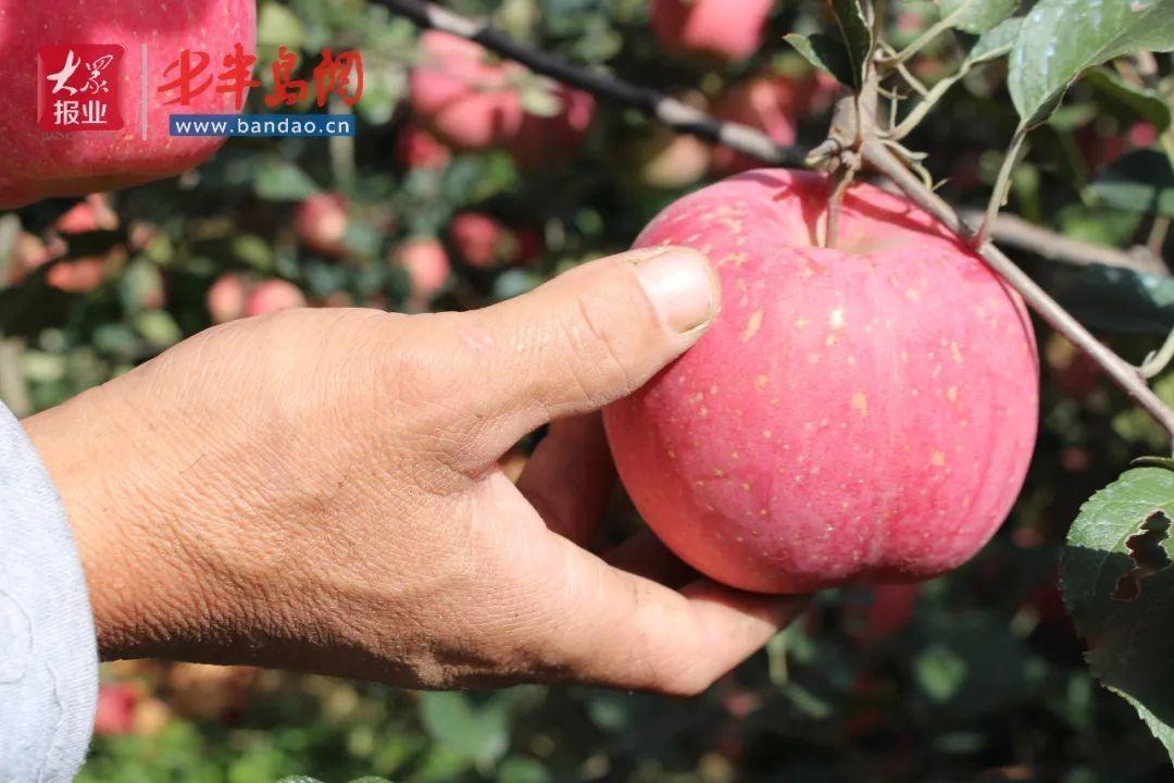 诸城这个村居然有这么好吃的苹果,到底怎么回事?