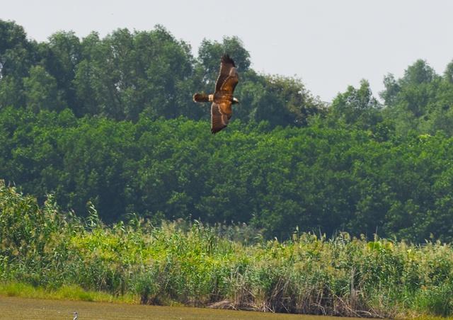 南沙湿地发现猛禽白腹鹞