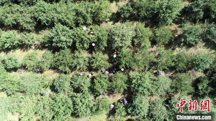 湖南油茶重点县东安:油茶种植受益两万多贫困人口