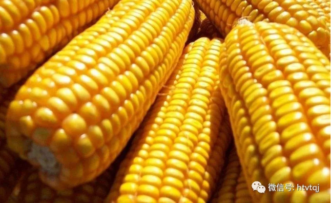 【踏青记】看,一粒玉米在托克托工业园区的变身之旅。