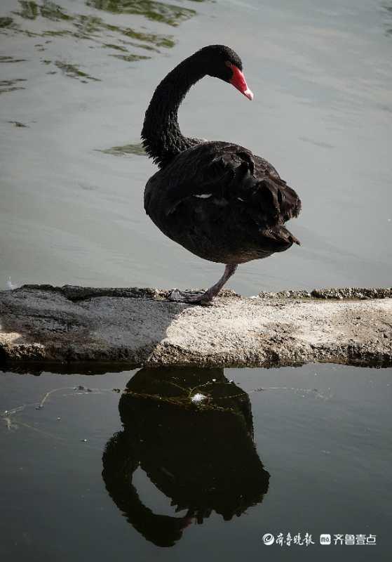 华山湖湖面上,一只孤单的黑天鹅