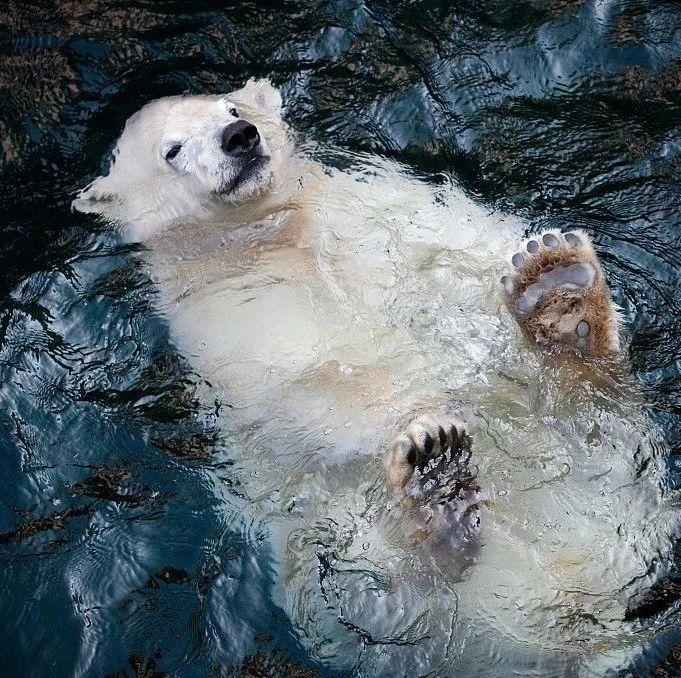 北极熊玩累了,直接找块水面漂着放空,这画风神似肥宅啊~