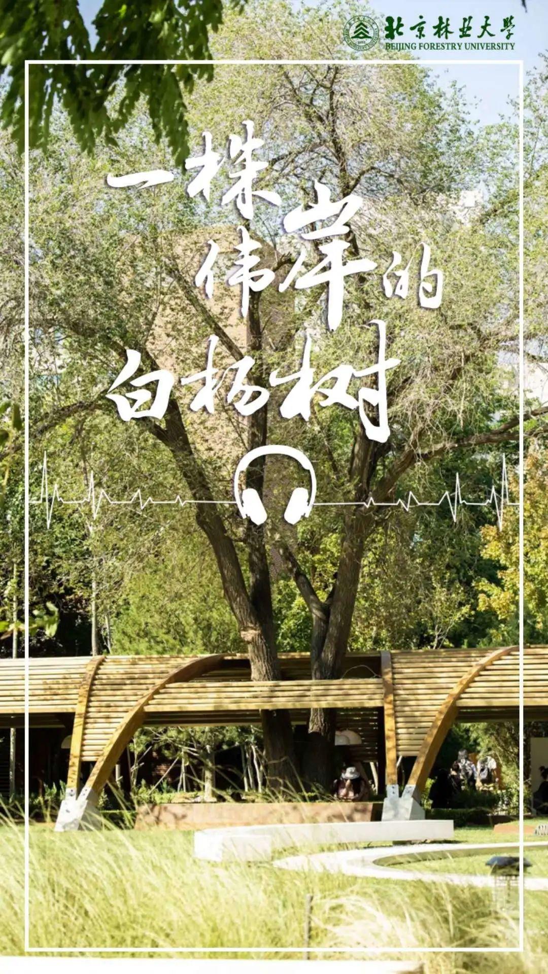周末电台 | 一株伟岸的白杨树,一段值得永远珍藏的记忆图片