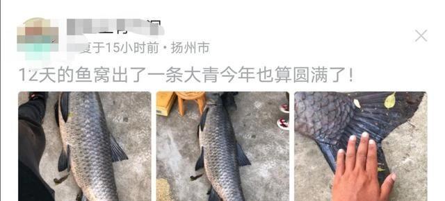几百斤螺狮做窝,蹲守12天,扬州青鱼王被钓上岸,网友:放生吧!