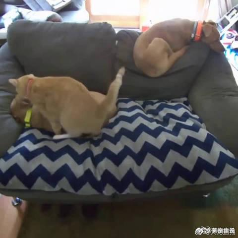 国外网友家领养的狗狗患上了分离焦虑症……