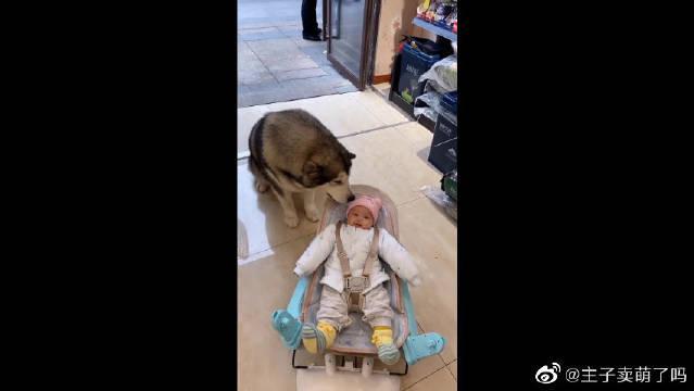 洛洛最喜欢小宝宝了,瞧它的反应好可爱呀