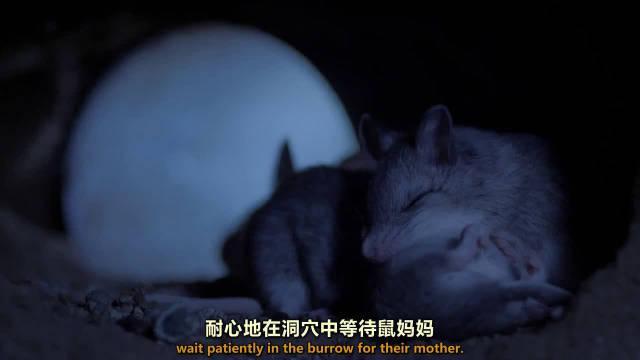 自制剪辑:野生环境下小动物随时面临危机!