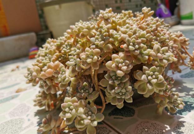 北方地区!秋季盆栽这5款多肉,一淋雨就一个接一个地黑腐病变