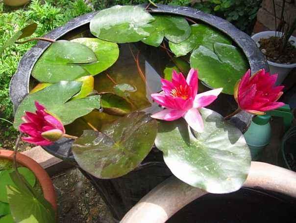 碗莲种子当年能开花吗?