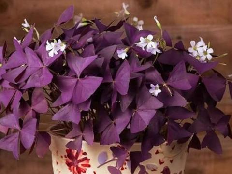 代表幸运的小草花,叶子像紫蝴蝶,懒人都能养爆盆,开满粉色小花