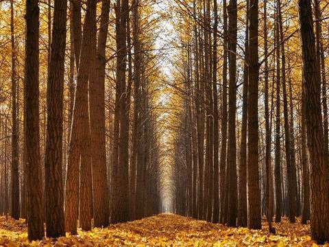 北京的这片银杏林太美了,适合遛娃拍照赏秋,免费开放51路直达