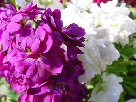 """秋播紫罗兰,明年早春就开花,但两种""""紫罗兰""""不一样,别弄错了"""