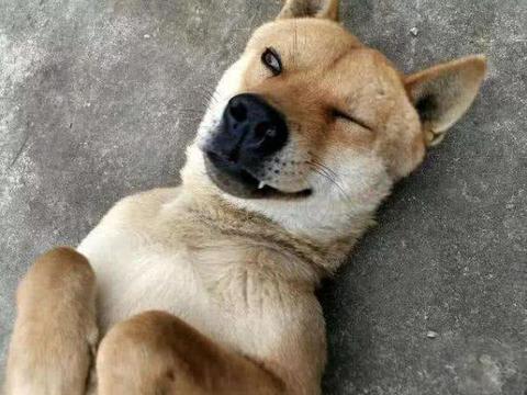 土狗并非只配看门,在历史上,中华田园犬是人们的掌上明珠