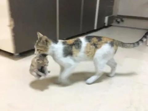 成精了,猫妈知道娃受伤,居然自己叼到急诊室找人帮忙!