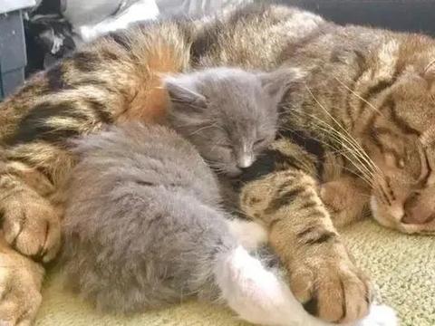 虎斑猫捡回一只被抛弃的小奶猫,细心呵护教导,胜似亲生