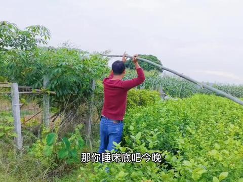 姑娘种3亩辣椒发芽了,搭一个低成本大棚,提高辣椒成活率