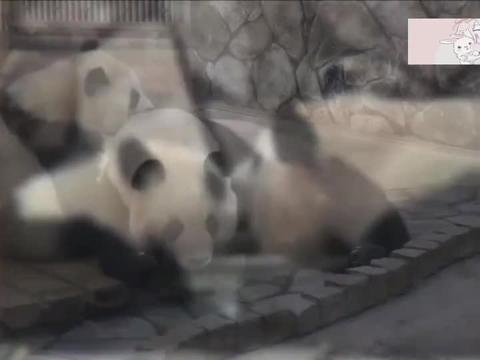 实拍熊猫和幼崽的日常,每天如影相随,最后一幕太暖心了